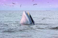 Brydes wieloryb Fotografia Stock