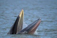 Brydewal im Golf von Thailand Stockbilder