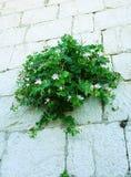 Bryka, Capparis spinosa krzak który r na kamiennej ścianie obrazy stock