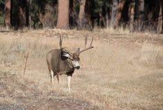 Bryka mułów rogacze z wielkimi poroże chodzi przez złotej śródpolnej łąki w Skalistych górach, Kolorado, usa zdjęcie royalty free