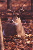 bryka portreta whitetail Fotografia Stock