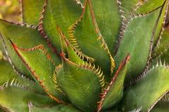 Brylant agawy zielony shawii Obraz Royalty Free