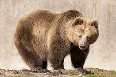 Bryna björnen Arkivbild