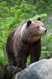 Bryna björnen (lat. ursusarctos) Arkivbild