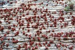 Bryna röd lövverk, makrosikt på textur vissnade hösten vissnade sidor nära väggen Royaltyfri Foto