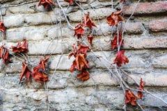 Bryna röd lövverk, makrosikt på textur vissnade hösten vissnade sidor nära väggen Royaltyfria Bilder
