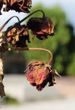 Bryna rosor arkivfoto