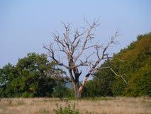 Bryna trädet Fotografering för Bildbyråer