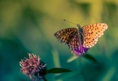 Bryna upp och svärta fjärilskrypet bara på en purpurfärgad blomma på en grön bakgrund i färgslut arkivbilder