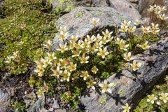 Bryoides för alpin blommaSaxifraga mossig stenbräcka, Aosta Valley, Italien Royaltyfri Fotografi