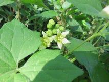 Bryonia dioica Royaltyfri Foto