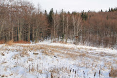 Bryony in the winter landscape Royalty Free Stock Photos