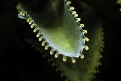 Bryophyllum Royalty Free Stock Image