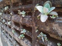 Bryophyllum daigremontiana植物在肮脏的墙壁上增长 图库摄影