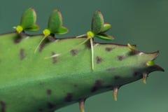 Bryophyllum daigremontianum Młode rośliny na liściu obrazy royalty free