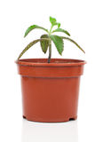 Bryophyllum daigremontianum plant Royalty Free Stock Images