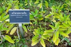 Bryophyllum pinnatum in garden,herb plant Royalty Free Stock Image