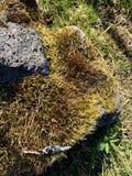 Bryophyta eller bladmossa som srows och bilagor till stenar, denna mossa är gröna och gula royaltyfri fotografi