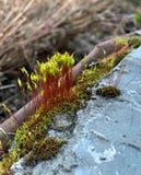 Bryophyta eller bladmossa som srows och bilagor till stenar, denna mossa är gröna royaltyfri bild