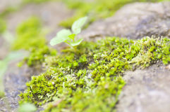 Bryophyta, moss on the rock Royalty Free Stock Image
