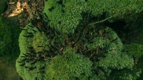 Bryophyta moss on the tree. Pan shot stock video