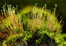 Bryophyte and dew. Mossy tussock with growing red sporophytes - dew drops in early morning over dark background Stock Photography
