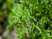 Bryophyte portrait Hart's-tongue thyme moss Royalty Free Stock Photo