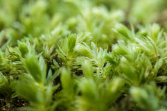 Bryophyte woodland moss Royalty Free Stock Photo