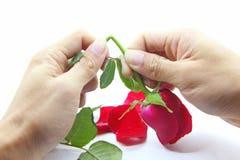 Bryt den röda rosen Arkivfoto