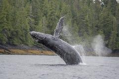 Bryta igenom för puckelryggval som är frånlands- på Craig, Alaska Royaltyfri Bild