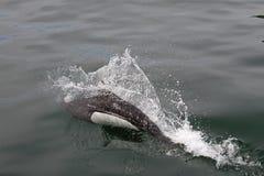 bryta igenom havporpoise royaltyfri foto