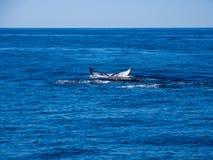 Bryta igenom valet, svans för puckelryggval på det blåa havet royaltyfria foton