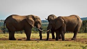 Brytning - afrikanBush elefant Fotografering för Bildbyråer