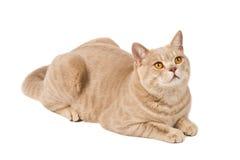 brytyjczycy kot Zdjęcia Stock