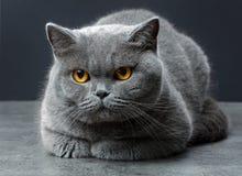 brytyjczycy kota shorthair Zdjęcie Stock
