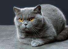 brytyjczycy kota shorthair Fotografia Stock