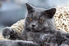 brytyjczycy kota shorthair Zdjęcie Royalty Free