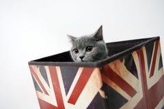 brytyjczycy shorthair Obrazy Royalty Free