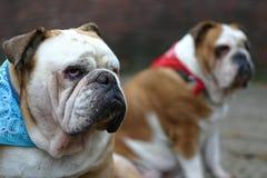 brytyjscy bulldogs Obraz Royalty Free