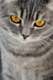 Brytyjscy kotów oczy Zdjęcie Stock
