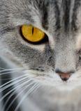 Brytyjscy kotów oczy Obrazy Royalty Free