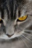 Brytyjscy kotów oczy Zdjęcia Royalty Free