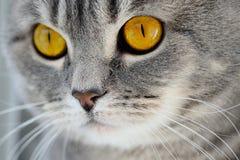 Brytyjscy kotów oczy Obraz Stock