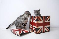 Brytyjscy shorthair koty Zdjęcie Stock