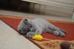 Brytyjska śliczna urocza figlarka bawić się z małą żółtą myszą Zdjęcia Royalty Free