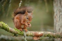 Brytyjska Czerwona wiewiórka Zdjęcia Royalty Free