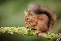 Brytyjska Czerwona wiewiórka Zdjęcie Stock