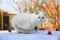 Brytyjska shorthair figlarka z niebieskimi oczami fotografia royalty free