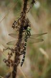 Brytyjski Żółty Czarny Złoty Upierścieniony Dragonfly Zdjęcie Royalty Free