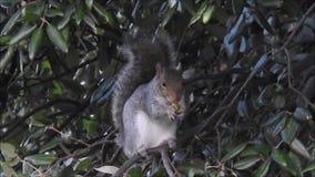 Brytyjski łasowania popielaci wiewiórczy acorns w zimie